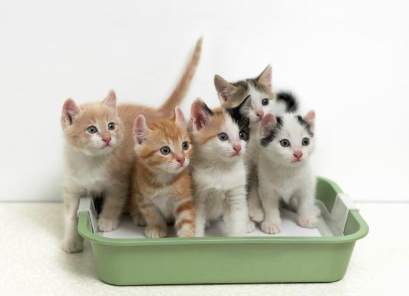 Chatons dans une litière : la propreté du chat est un sujet capital.
