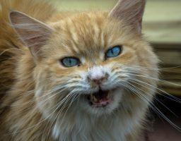 Toute dents dehors, le chat agressif prévient de son état.
