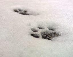Photo d'empreinte de pattes de chat dans la neige pour aborder le sujet du deuil de son chat.