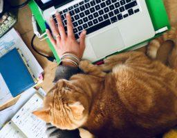 Le chat atteint du syndrome d'hyper-attachement est un véritable pot de colle. Ici il est posé sur un bureau entre une personne et son clavier d'ordinateur.
