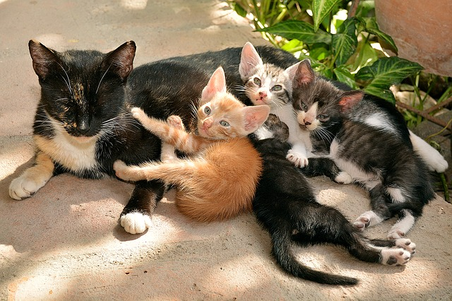 Photo d'une portée de chaton pour introduire un article concernant leur éducation et le rôle que l'humain peut jouer dans la socialisation des chatons.