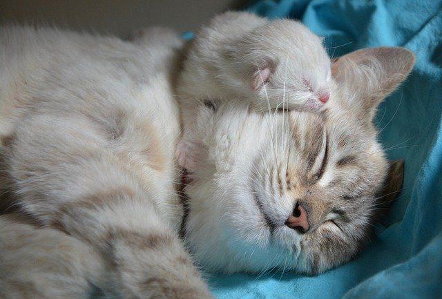 Après 9 semaines de gestation, la chatte se repose avec son petit endormi dans son cou.