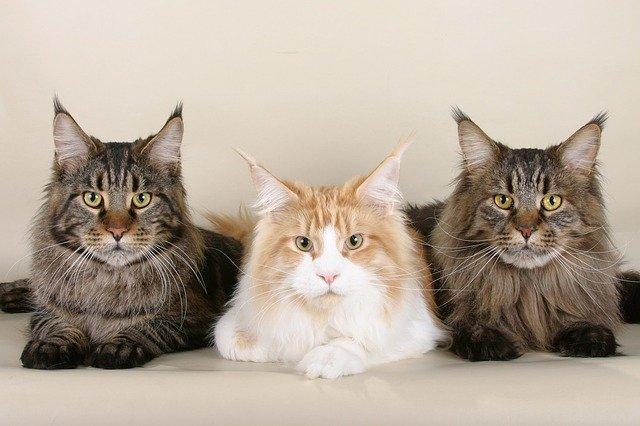 Photo de 3 Maine Coon pour illustrer les conseils de ChatDOC sur la question du choix d'un chat avec ou sans pédigrée.