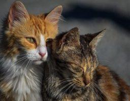 Deux chats avec des robes différentes illustrant un article dans lequel ChatDOC explique le pelage du chat