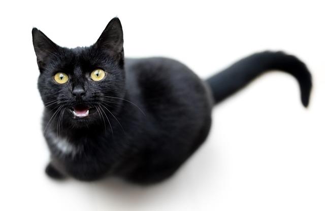 L'extinction de voix chez le chat, quand il miaule sans on ou est enroué, peut être le signe de plusieurs maladies.