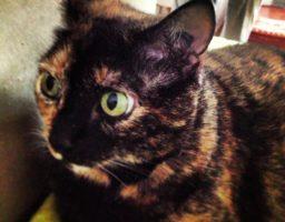 La photo d'un chat avec un tatouage dans l'oreille illustre un article sur l'obligation d'identification des chats.