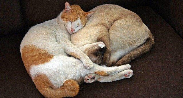 Photo de deux chats qui dorment pour illuster un article qui traite du sommeil chez le chat.