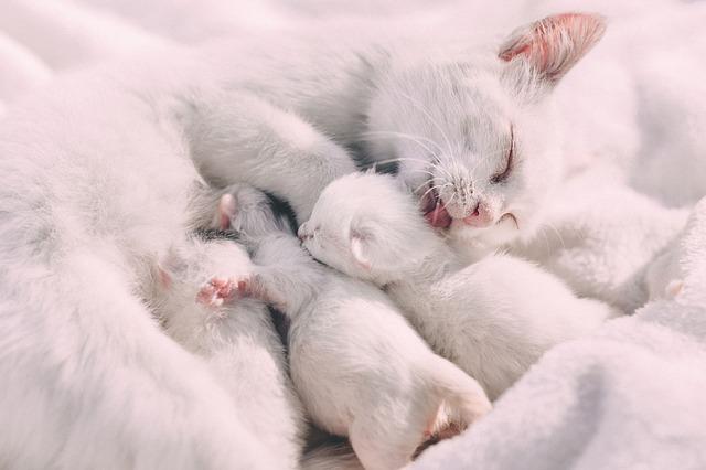 Il est fréquent que le chat blanc, porteur d'une anomalie génétique, soit un chat sourd.