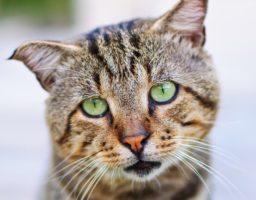 Illustration pour un article sur le typhus du chat